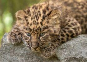 Леопард на камне