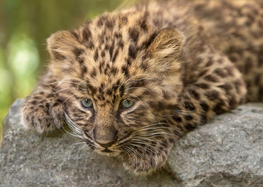 Леопард на камне · бесплатное фото