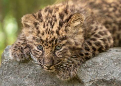 Leopard on a rock - free photo