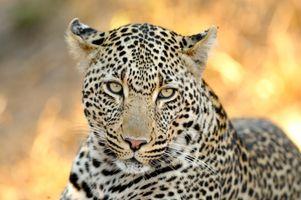 Фото бесплатно морда, дикий, леопард