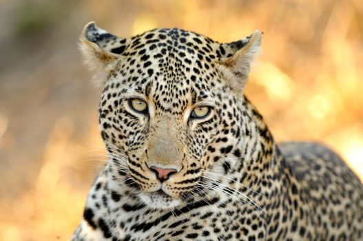 Заставки морда, дикий, леопард