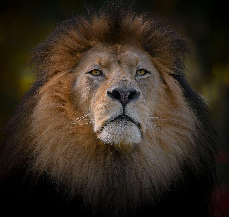 Фото бесплатно лев, царь зверей, хищник, взгляд, морда, фотопортрет, животные