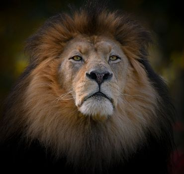 Photo free look, the lion, predator