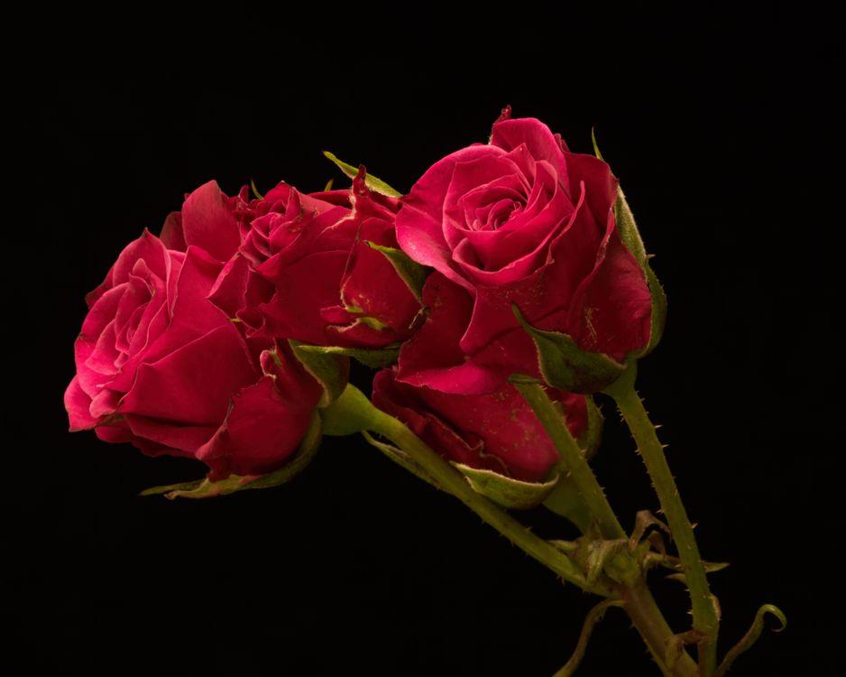 Фото бесплатно роза, розы, цветок, цветы, флора, цветы