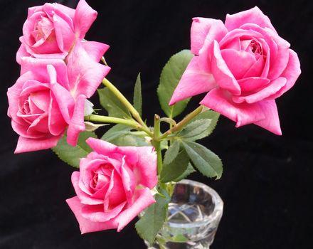 Фото розы, роза в хорошем качестве
