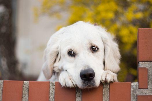 Грустный белый лабрадор · бесплатное фото
