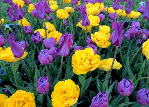 Летние тюльпаны · бесплатное фото
