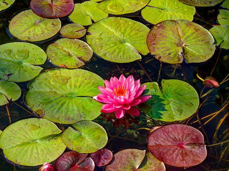 Бесплатные фото водоём,вода,листья,цветок,водяная лилия,водяные лилии,природа