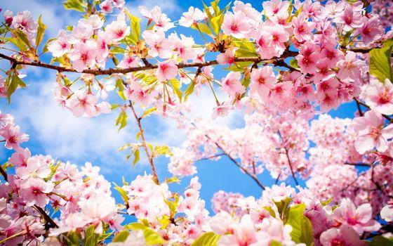 Photo free sky, Sakura, petals