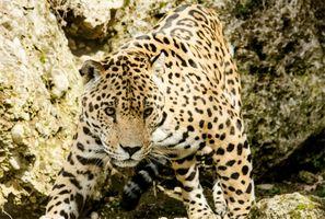 Фото бесплатно леопард, дикая природа, зоопарк