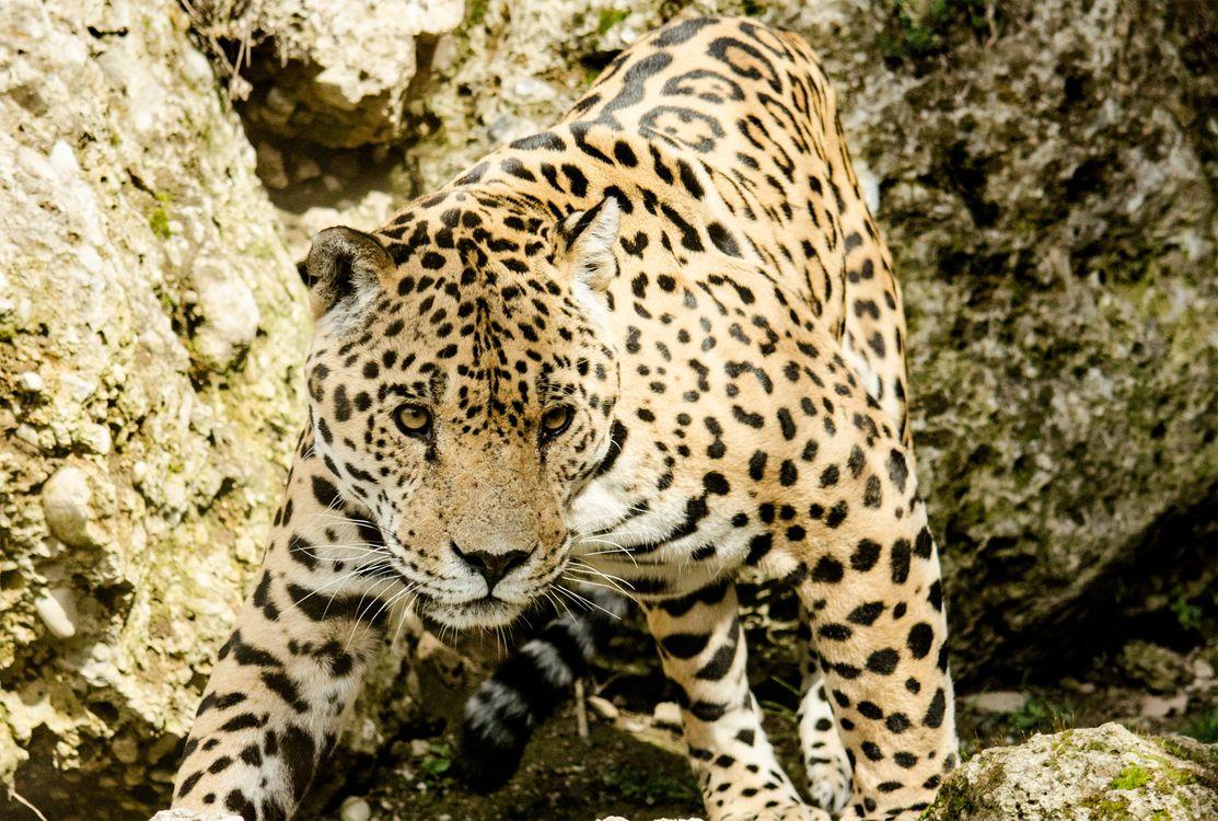 Фото бесплатно леопард, дикая природа, зоопарк - на рабочий стол