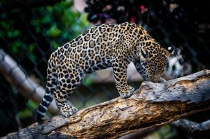 Бесплатные фото leopard,кошка,леопард