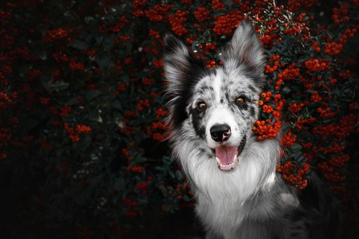 Dog on a background of mountain ash · free photo