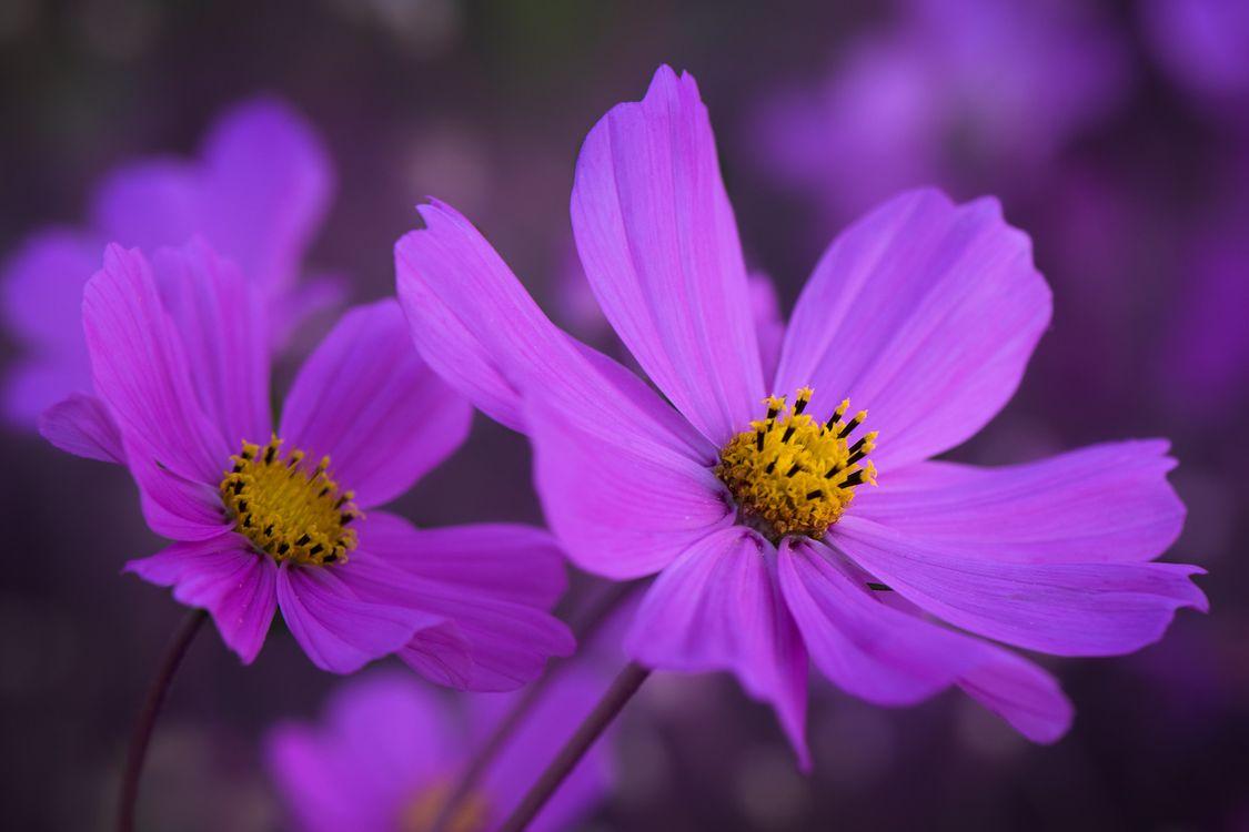 Фото бесплатно Цветы, цветок, Космея - на рабочий стол