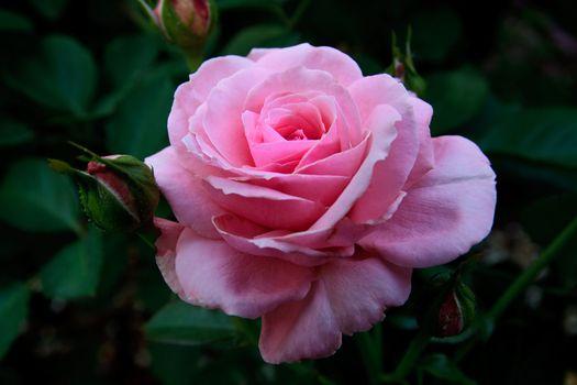 Фото бесплатно роза, крупным планом, лепестки