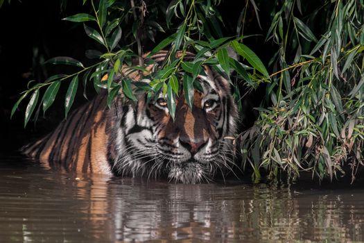 Заставка амурский тигр, большая кошка