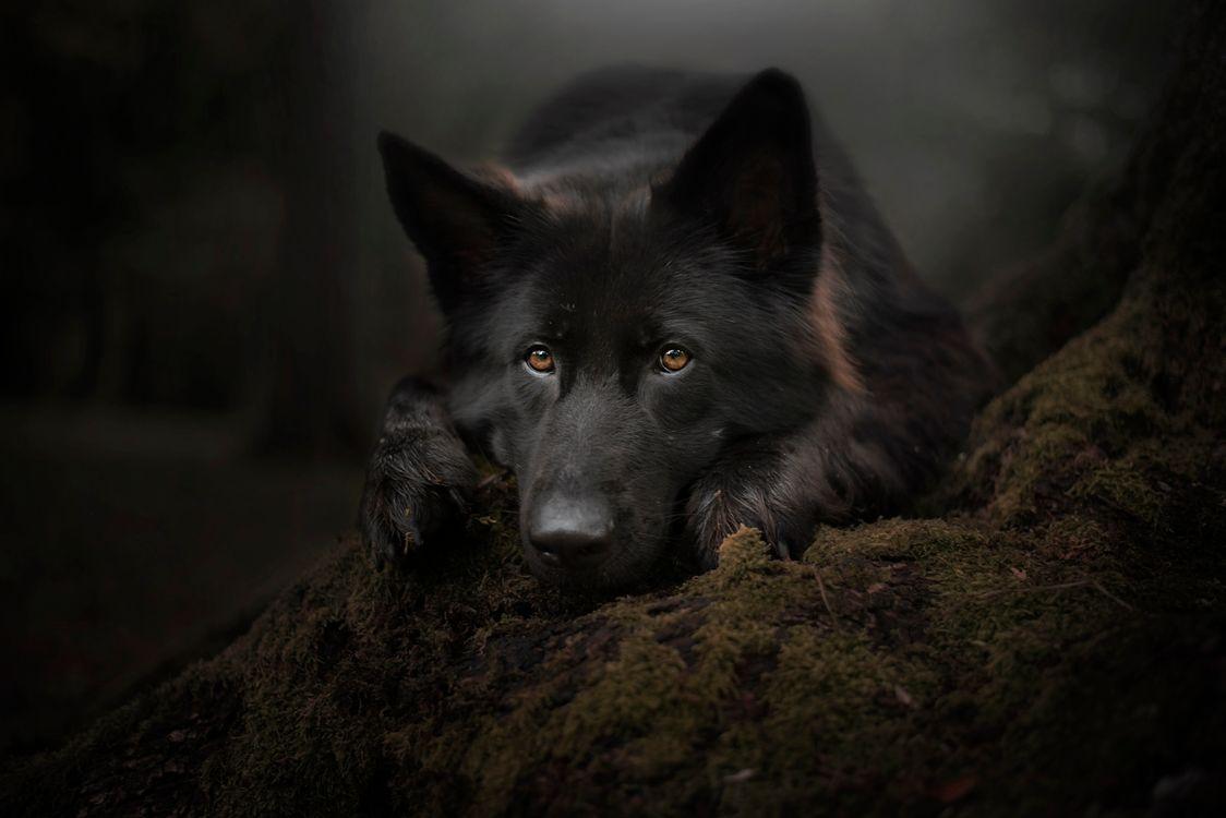 Фото бесплатно Черная немецкая овчарка, собака, морда, взгляд, домашнее животное, собаки