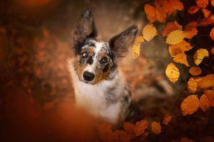 Пятнистая собака с осенней листвой