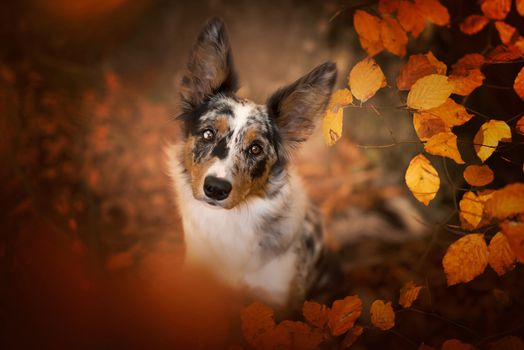 Spotted dog with autumn leaves