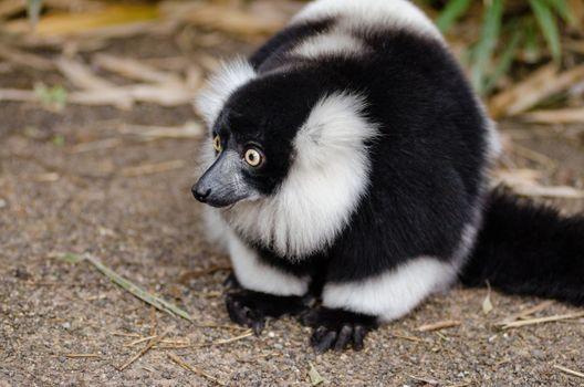 Photo free lemur, fluffy, looking away