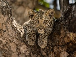 Photo free Leopard in tree, beauty on a branch, small