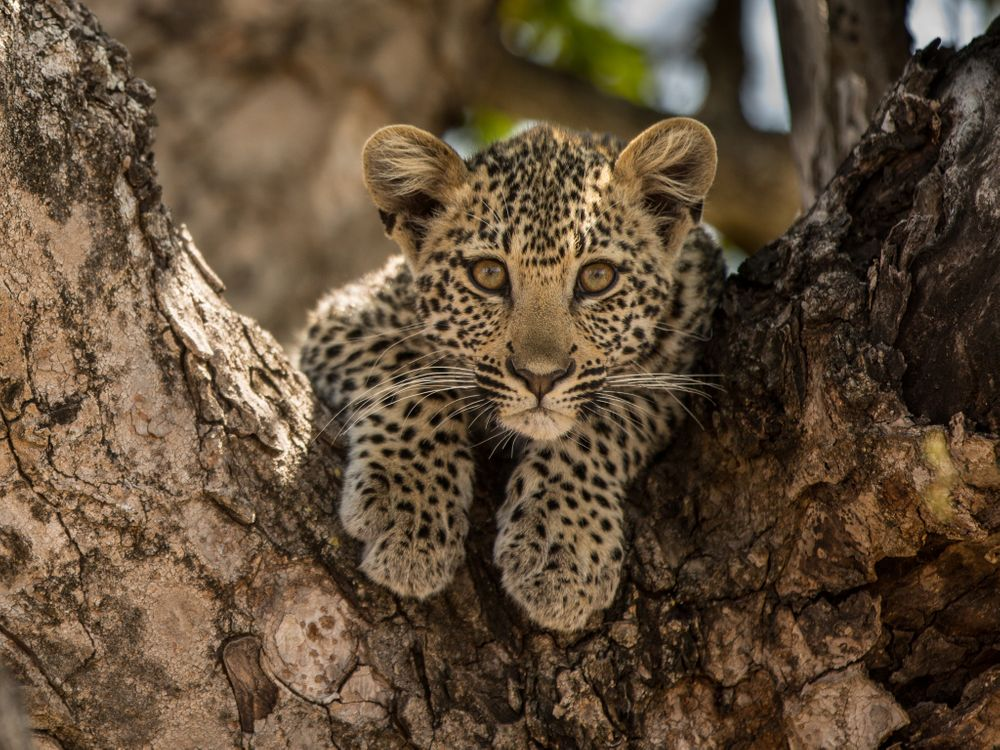 Free photo Leopard in tree, beauty on a branch, small - to desktop