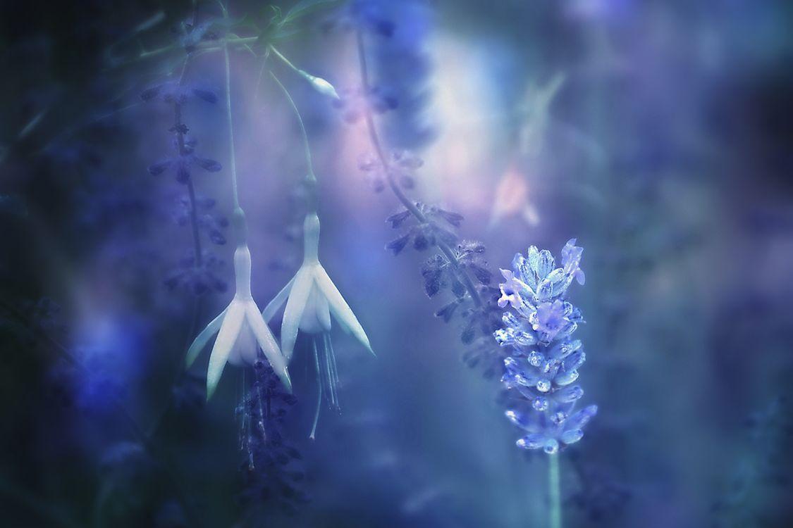 Фото бесплатно лаванда, растения, растение - на рабочий стол
