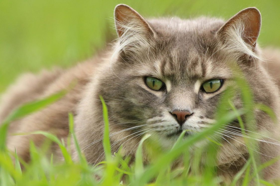 Фото бесплатно зеленая, трава, кошка, глаза, животные, кошки
