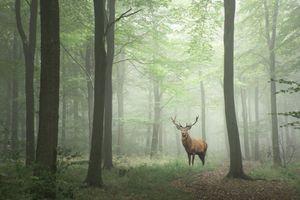 Бесплатные фото лес,деревья,туман,утро,олень,пейзаж