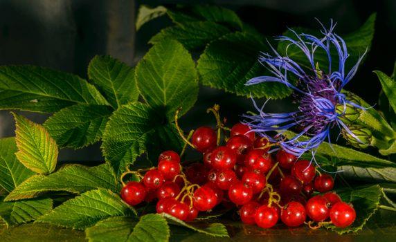 Фото бесплатно красная смородина, ветки, василёк