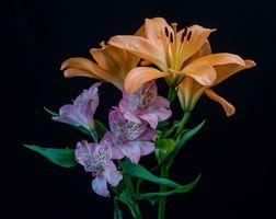 Фото бесплатно лилейники, лилии, черный фон