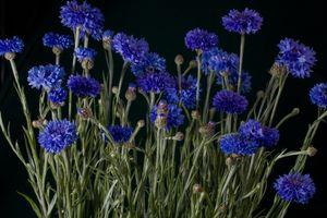 Бесплатные фото цветы,Васильки,чёрный фон,флора,букет