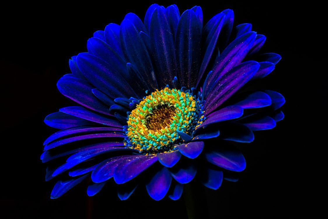 Фото бесплатно гербера, цветок, цветы, чёрный фон, макро, флора, герберы, цветы