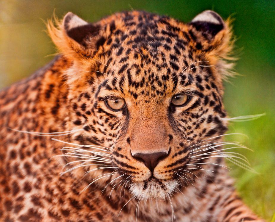 Фото бесплатно леопард, взгляд, животное - на рабочий стол