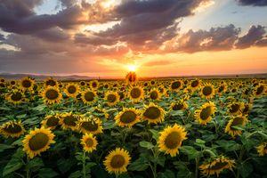 Фото бесплатно закат солнца, подсолнухи, поле