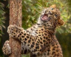 Кошка леопард