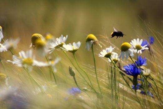 Photo free daisies, bee, plants