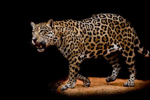 Обои на стол портрет леопард, животное