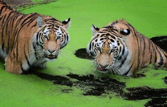 Обои на стол амурский тигр, хищник