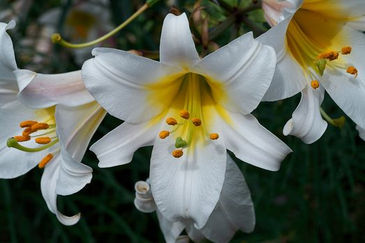 Фото бесплатно флора, лилии, цветок