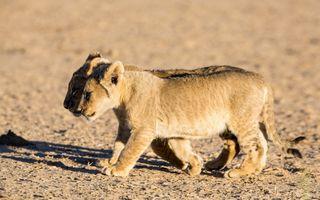Два львенка из прайда · бесплатное фото