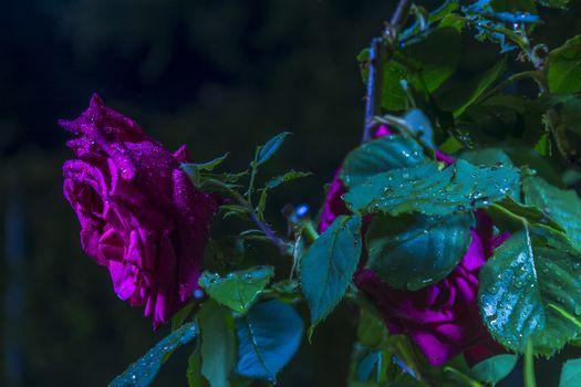 Красивые картинки роза, розы скачать бесплатно