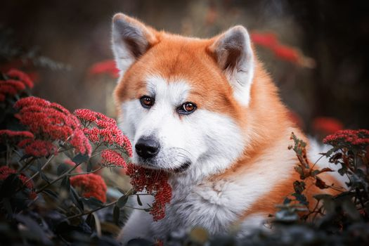 Akita redhead with red flowers · free photo