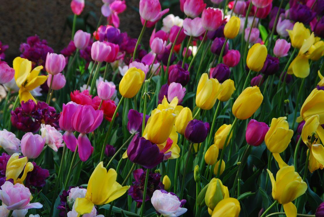 Заставка из тюльпанов · бесплатное фото