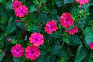 Бесплатные фото Цветковое растение,мирабилис,Mirabilis,является представителем семейства никтагиновые,цветы,флора