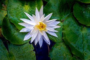 Фото бесплатно водяная лилия, лепестки, белые