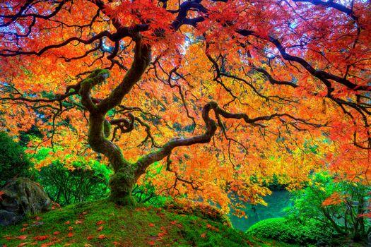 Бесплатные фото Японский сад,Портленд,Орегон,осеннее дерево,пейзаж