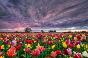 Фото бесплатно цветочное поле, закат, поле, цветы, тюльпаны, небо, облака, флора пейзаж