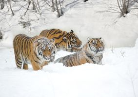 Three tigers playing in the snow