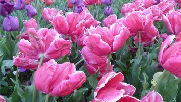 Обои и тюльпаны
